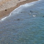 Penguins entering the sea